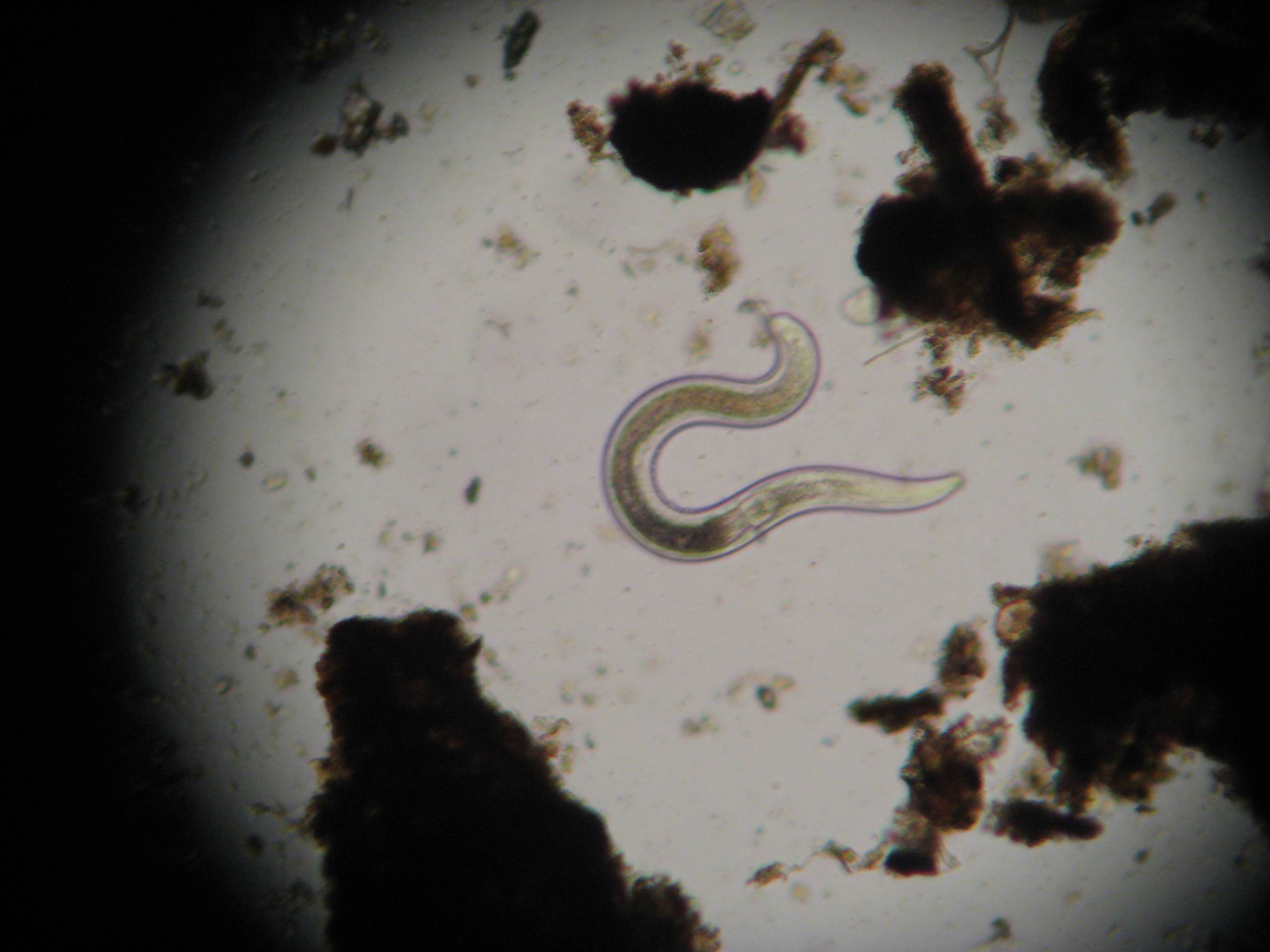 Beneficial Fungal Feeding Nematode Magnified 400X