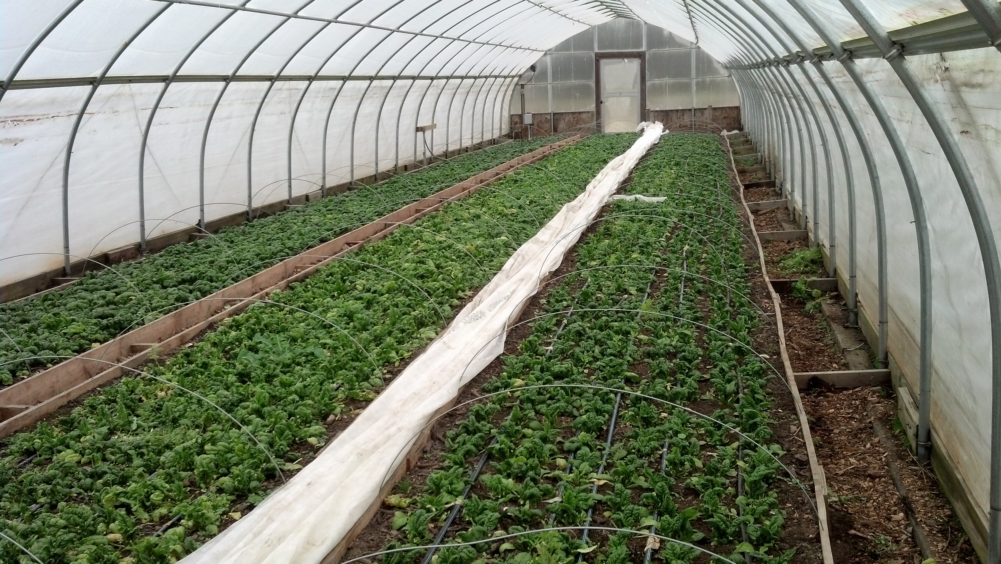 Greenhouse Spinach Grown ONLY in Compost, No Fertilizer